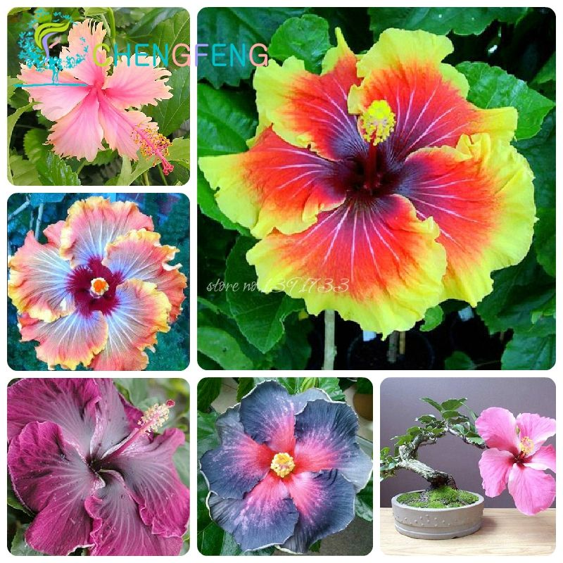 Outdoor Flowers For Sale Part - 30: Flowers Garden · Bonsai On Sale!!! 200pcs Hibiscus Seeds 24kinds HIBISCUS  ROSA-SINENSIS Flower Seeds