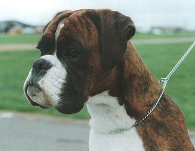 Glenauld Boxers Dog Kennels Boxer Dogs Show Dogs Puppies
