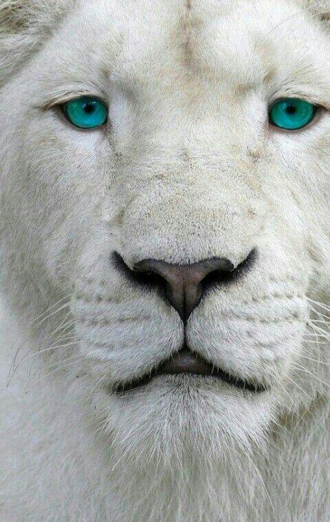 Lionne aux yeux bleus lion lionne lionceaux en 2018 - Animaux a gros yeux ...