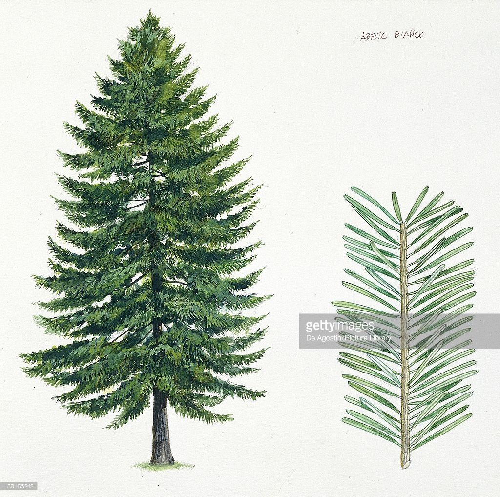 Silver Fir (Abies alba), tree and needles, illustration | christmas ...