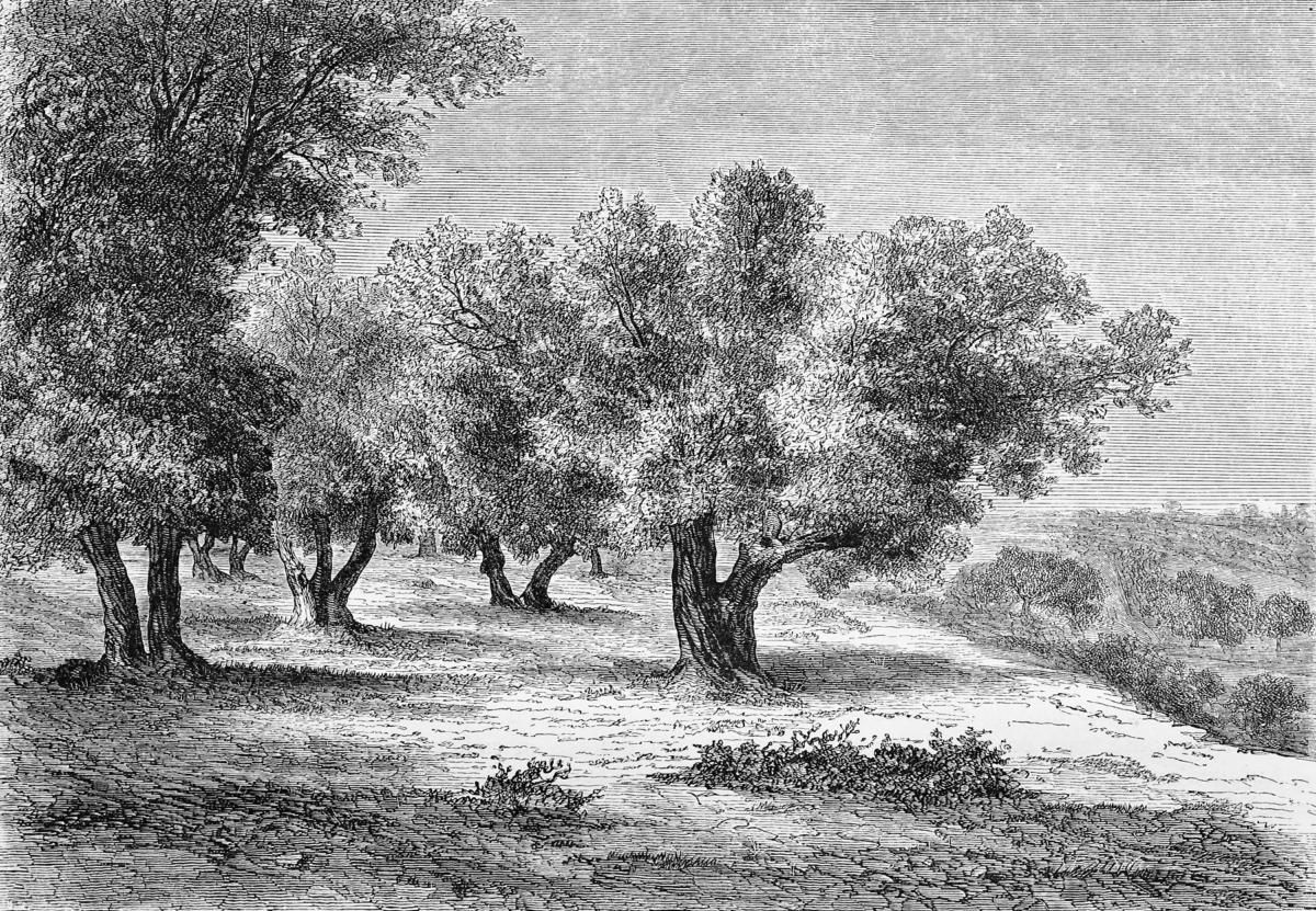 Papier Peint Panoramique Gravure – Les Oliviers