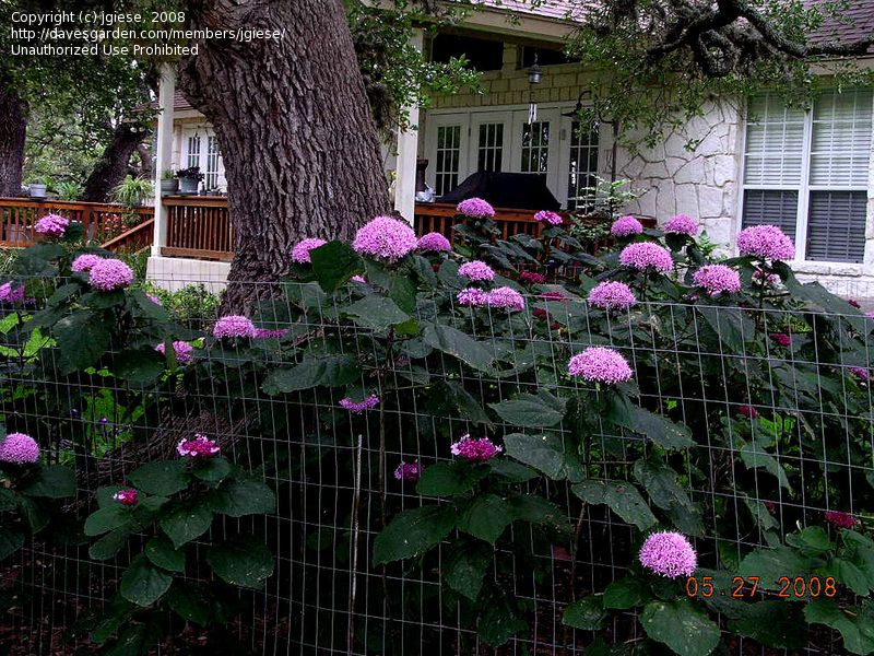 Full Size Picture Of Rose Glory Bower Cashmere Bouquet Mexicali Rose Mexican Hydrangea I Clerodendrum Bu Shade Landscaping Outdoor Yard Ideas Shade Garden
