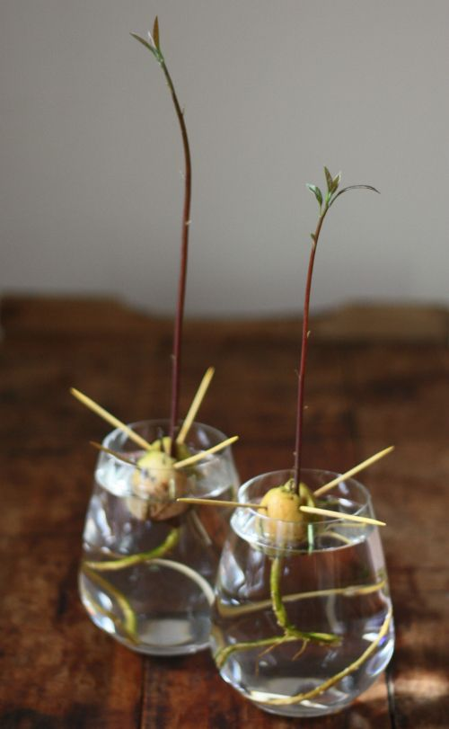 How To Grow An Avocado From A Pit Avocado Plant Grow Avocado Avocado Tree