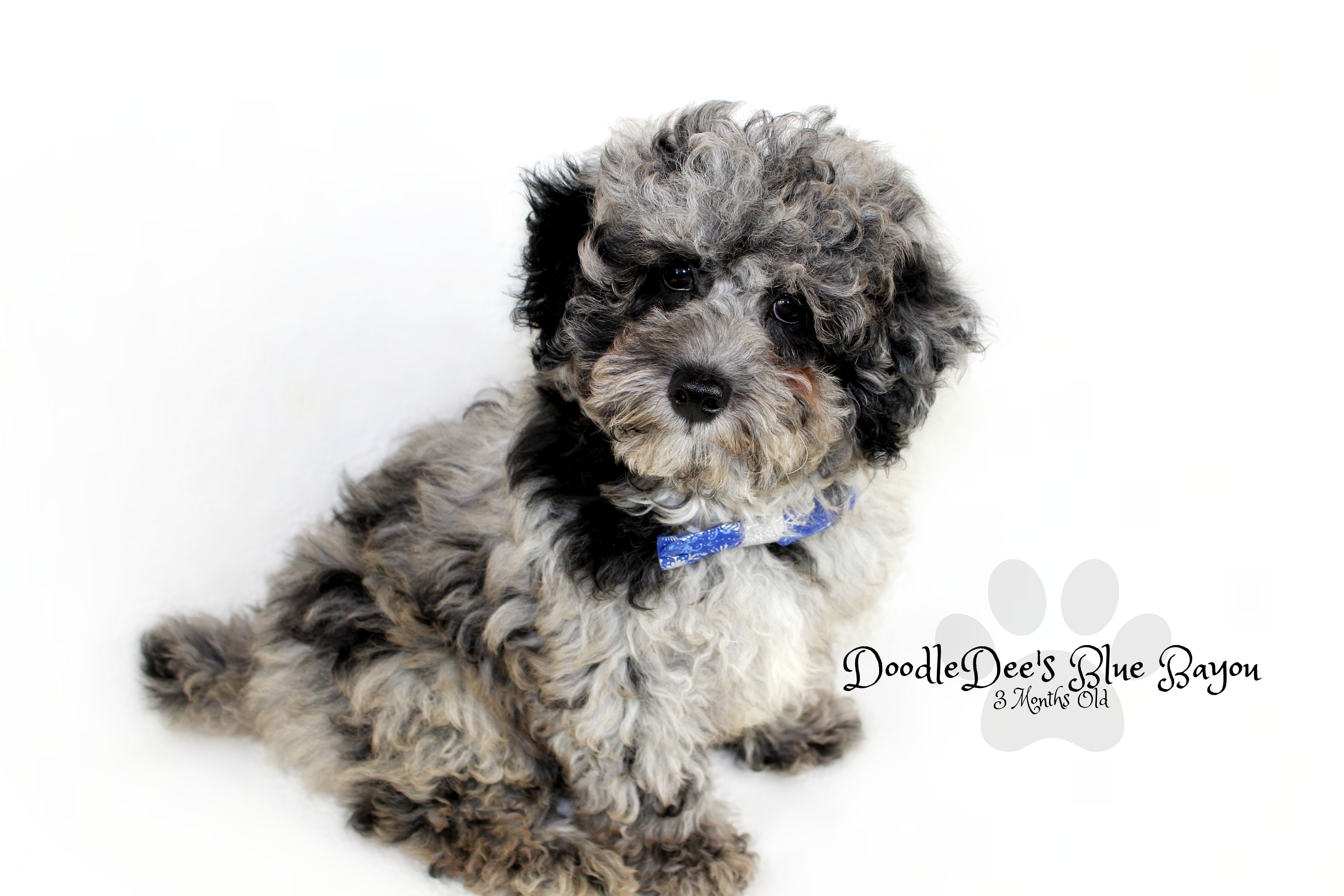 Blue The Blue Merle Mini Poodle He Is Going To Make Fabulous