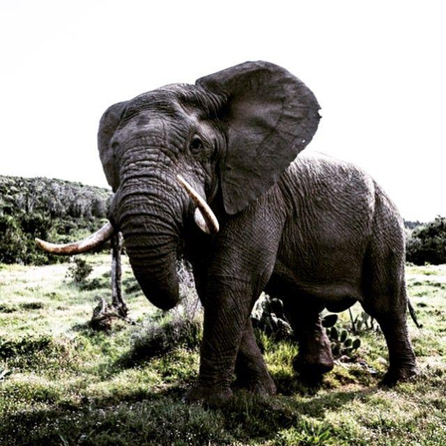 Love love love an elephant. Fills the frame. #elephant