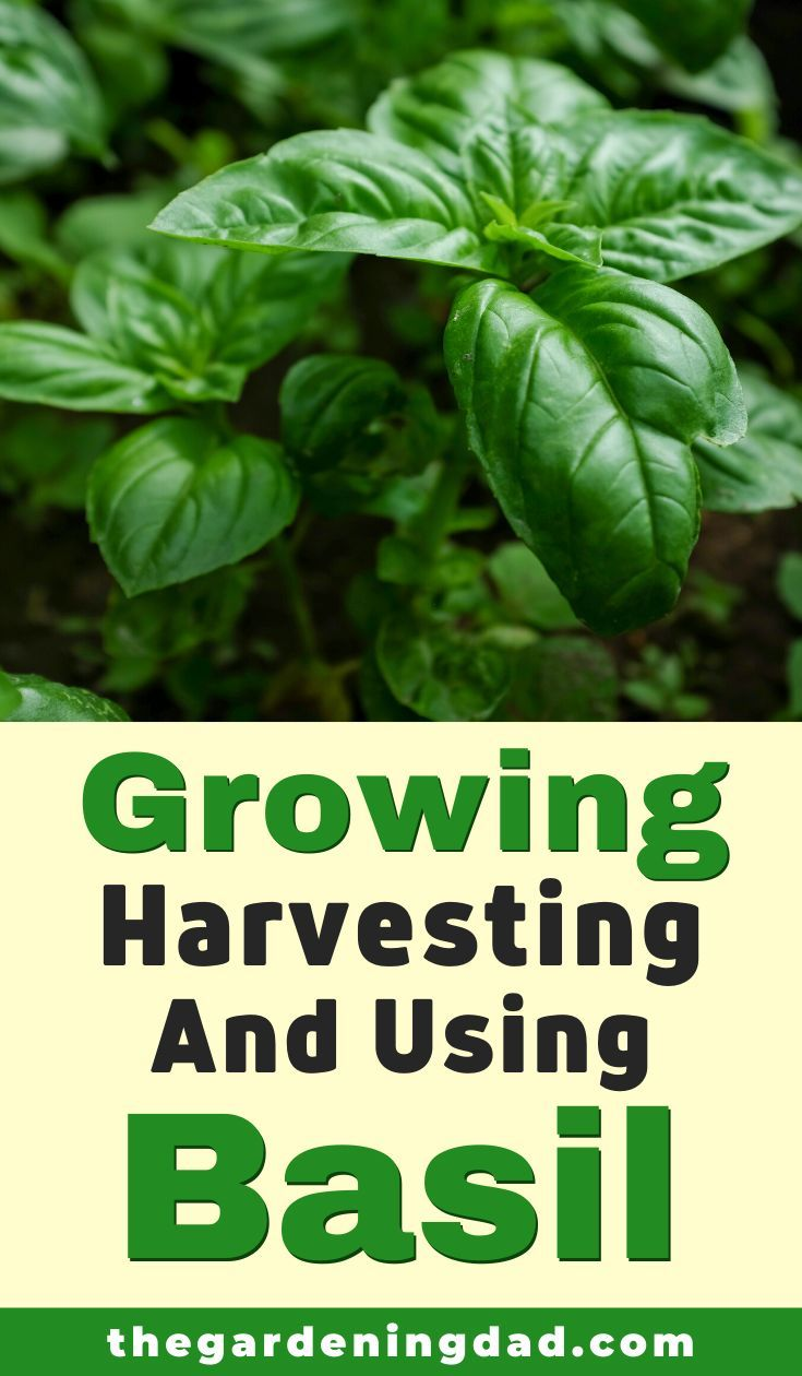 How to grow basil from seed 10 simple tips in 2020