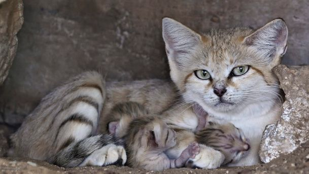 The Sand Cats   MAGAZINE OMNITRAVEL-  Zoological Center of Tel Aviv, Israel:  Three Sand Cat kittens born