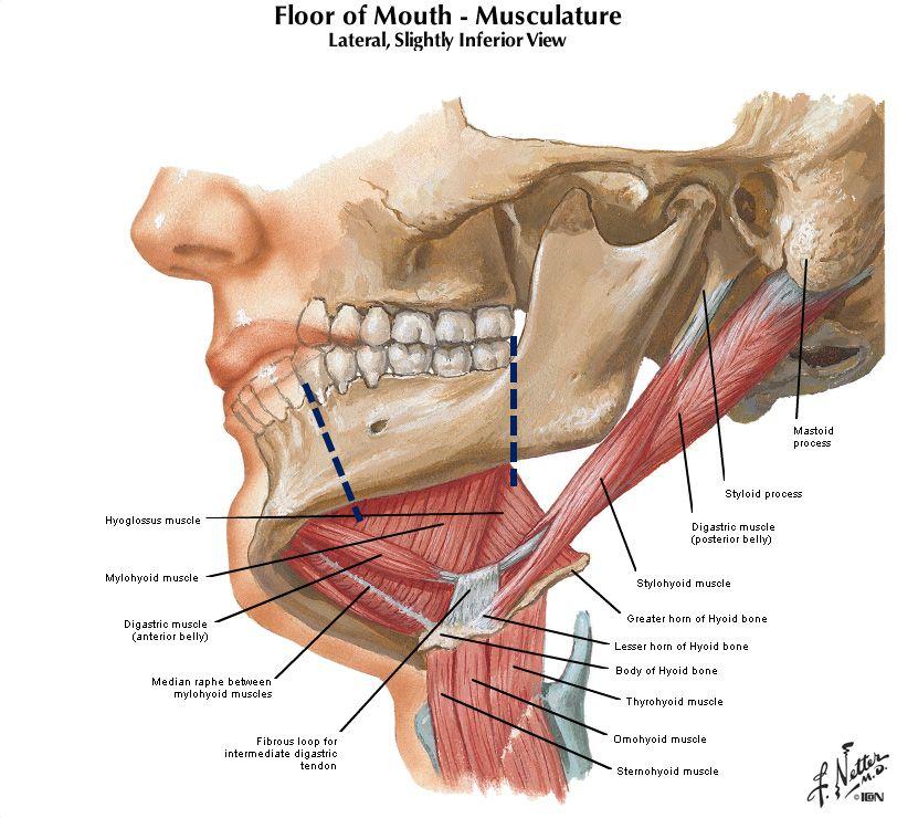 Jaw muscle anatomy