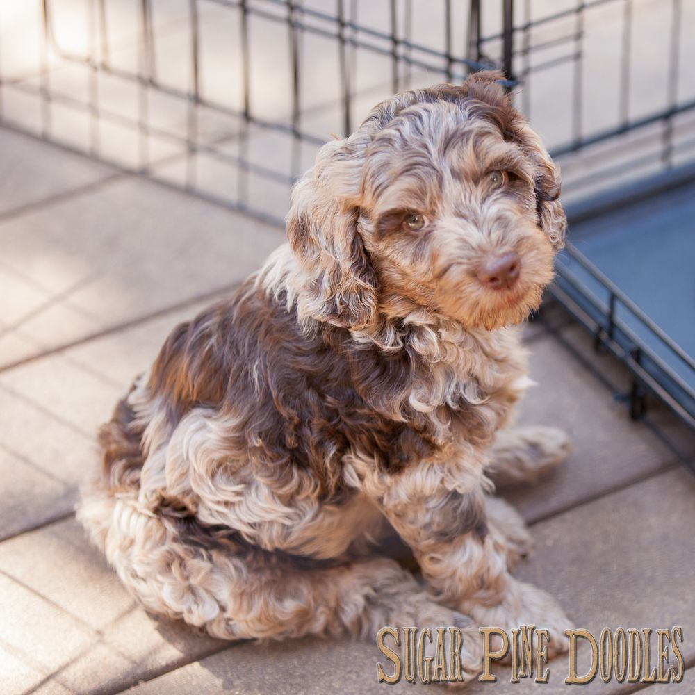 Our Sugar Pine Doodles Blog With Images Labradoodle Puppy