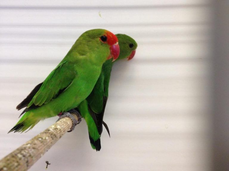 Harga Lovebird Abisinia Burung Cantik Burung Warna