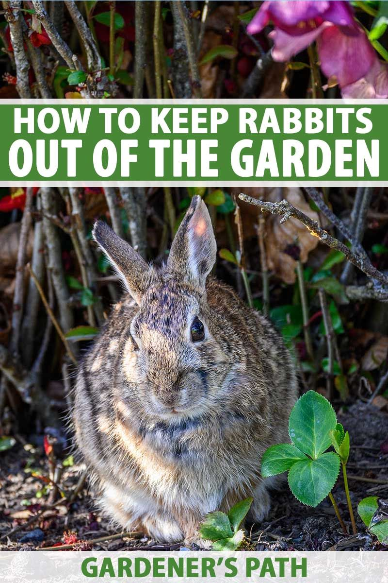 How to Keep Rabbits Out of the Garden | Gardener's Path in ...
