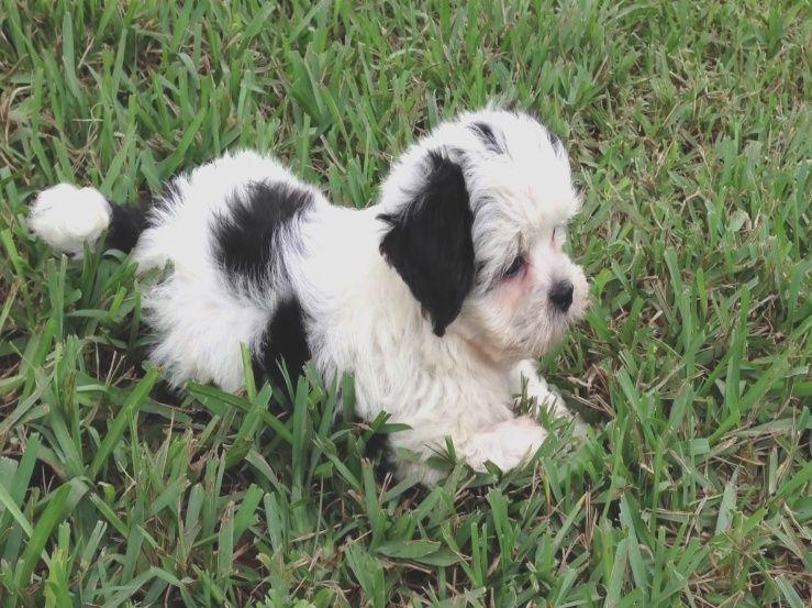 Beautiful Black And White Maltese Shih Tzu Pups For Sale In