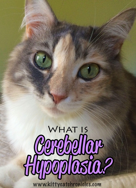 What is Cerebellar Hypoplasia aurora Cat diseases, Dog