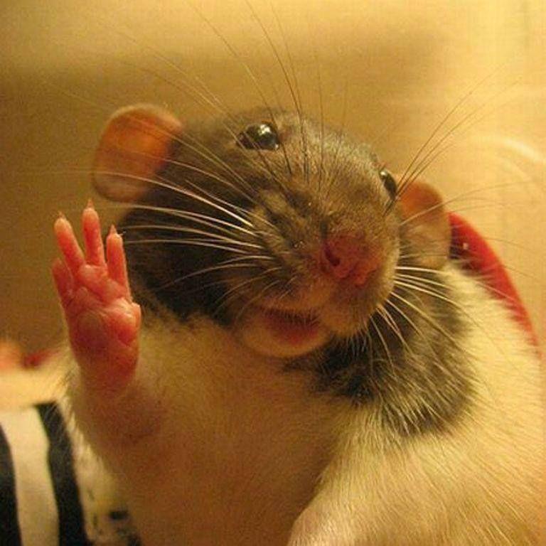 Поздравления, картинки про смешных крыс