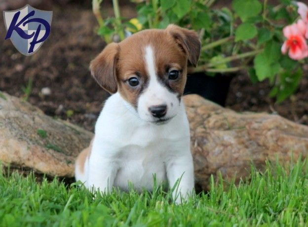 Puppy Finder Find Buy A Dog Today By Using Our Petfinder Jack Russell Terrier Puppies Puppy Finder Buy A Dog