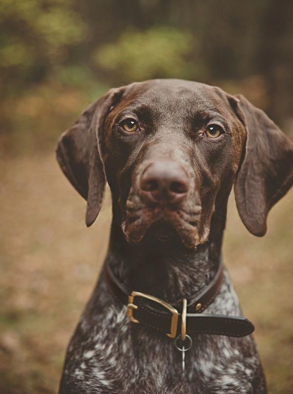 © Patrick Hadley Photography | Daily Dog Tag | Handsome-German-Shorthaired-Pointer #GSP #Braque allemand #GermanShorthairedPointerPups