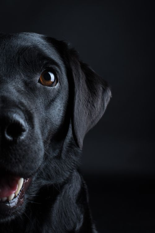 Shooting Juli Pfotentick Black Labrador Labrador Lab Black Labradorretriever Fotografie Hundefotografie Shoo Schwarzer Labrador Hunde Schwarze Hunde