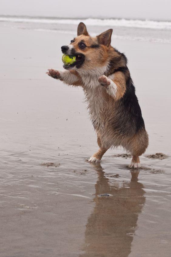The Daily Corgi March Of The Corgzillas Corgi Corgi Dog