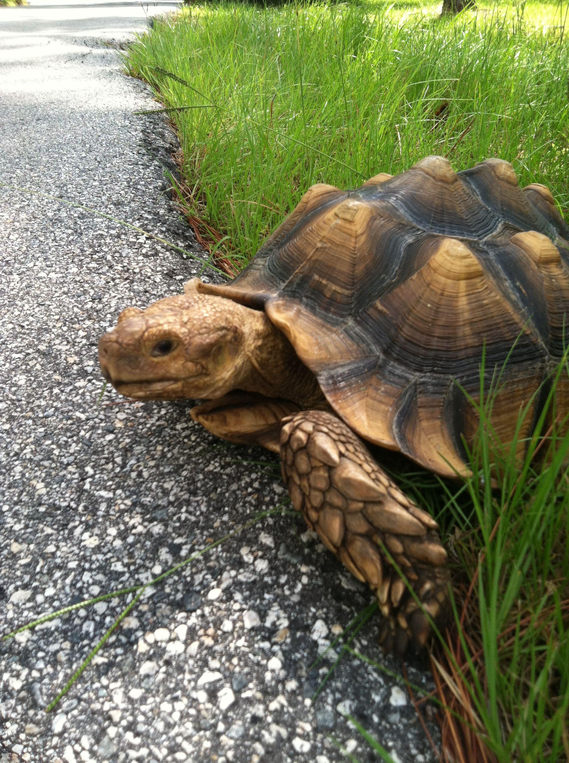 Rescue tortoise. Orlando, Florida Animals, Turtle, Tortoise