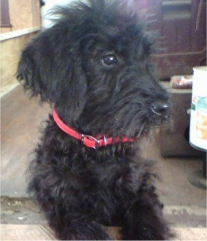 Schnauzer Poodle Mix Super Hypoallergenic To The Max