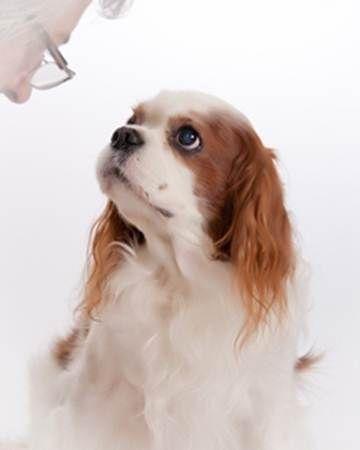 Sweet Little Winston King Charles Cavalier Spaniel Puppy King Spaniel Cavalier King Spaniel