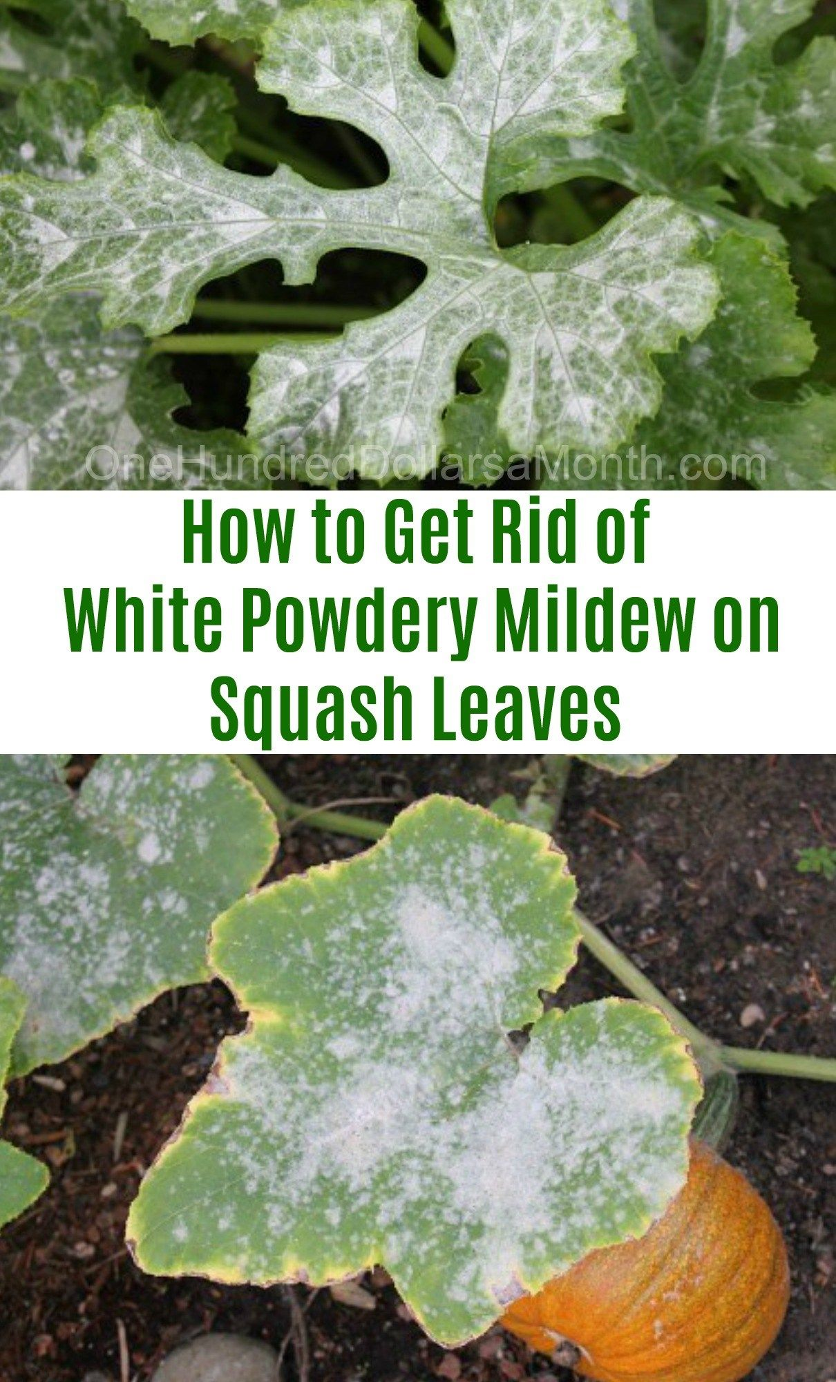 How To Get Rid Of White Powdery Mildew On Squash Leaves One Hundred Dollars A Month Powdery Mildew Garden Pests Garden Soil