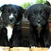 Chicago Il Border Collie Golden Retriever Mix Meet Ella A Puppy For Adoption Animal Advocacy Cat Adoption Pets