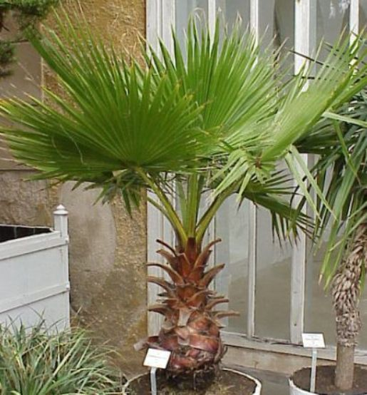 Bonsai Mexican Fan Palm Tree Skyduster Can Be Grown By Cheapseeds
