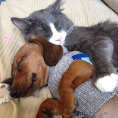 even cats love their #doxie :)