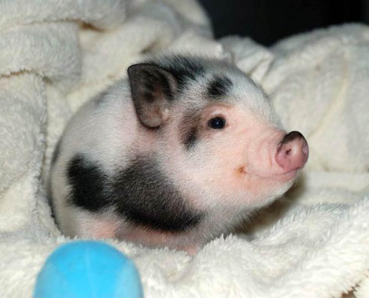 самое милое животное в мире, декоративная свинка фото ...  Самое Маленькое Животное в Мире