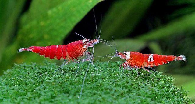 Red Cherry Shrimps Neocaridina Denticulata Sinensis Aquaponics Aquaponics Fish Aquarium Fish