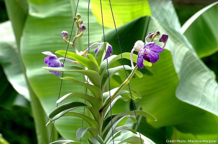 orchidee vanda terrestre