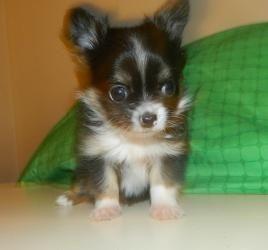 Calvin Is An Adoptable Chihuahua Dog In Denver Pa Calvin Is A