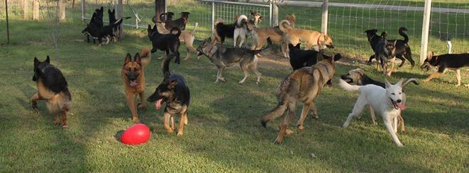 Beautiful Pack Doggy Love German Shepherd Dogs German
