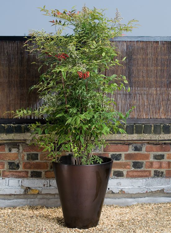 Nandina Domestica Commonly Known As Nandina Or Heavenly Bamboo Is A Species Of Flowering Plant In The Family Berb Home Garden Plants Plants Garden Containers