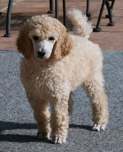 Mardi In The Oc Poodle Animals Dogs