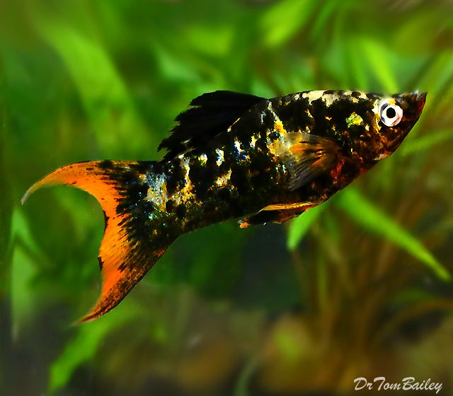 marble lyre tail molly | Brackish Creatures and Fish ... | 640 x 560 jpeg 45kB