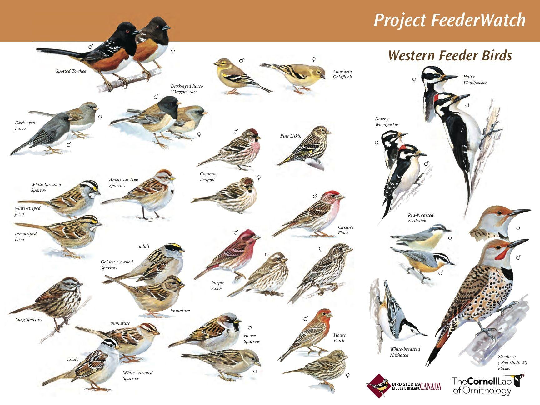 Great Site For Backyard Bird Id Winter Bird Pet Birds Backyard Birds
