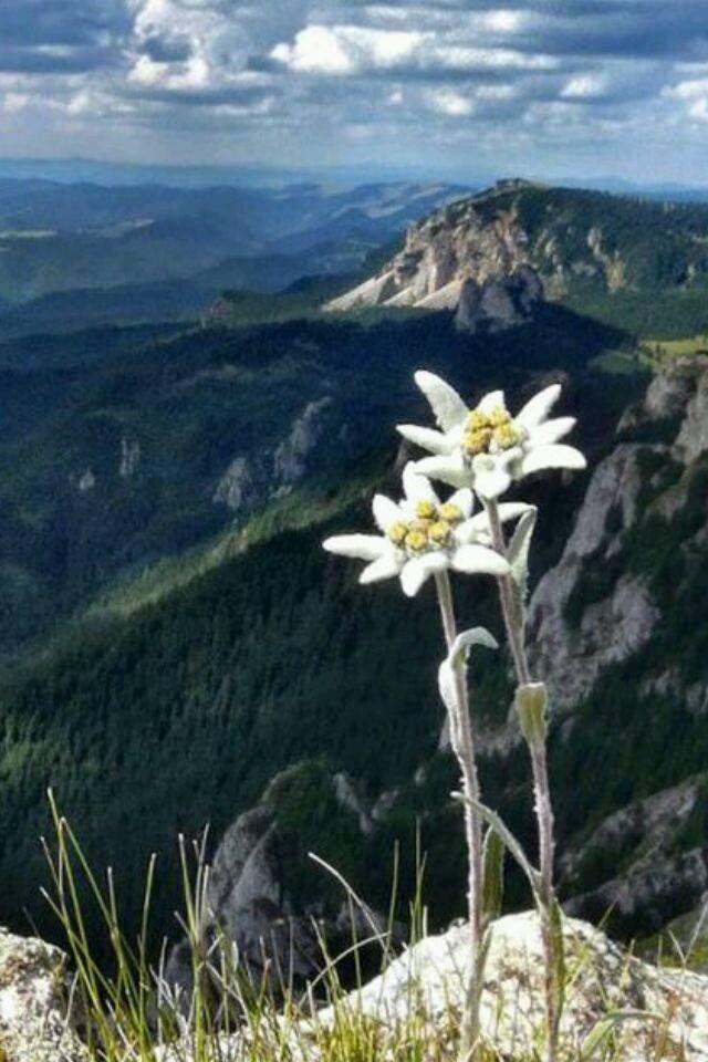 Fiori Bianchi Montagna.Leontopodium Alpinum Fiori Rari Fiori Paesaggi