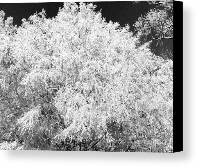 Golden cypress black and white metal print by scott d van osdol all metal prints are professionally printed packaged and shipped within 3 4 business
