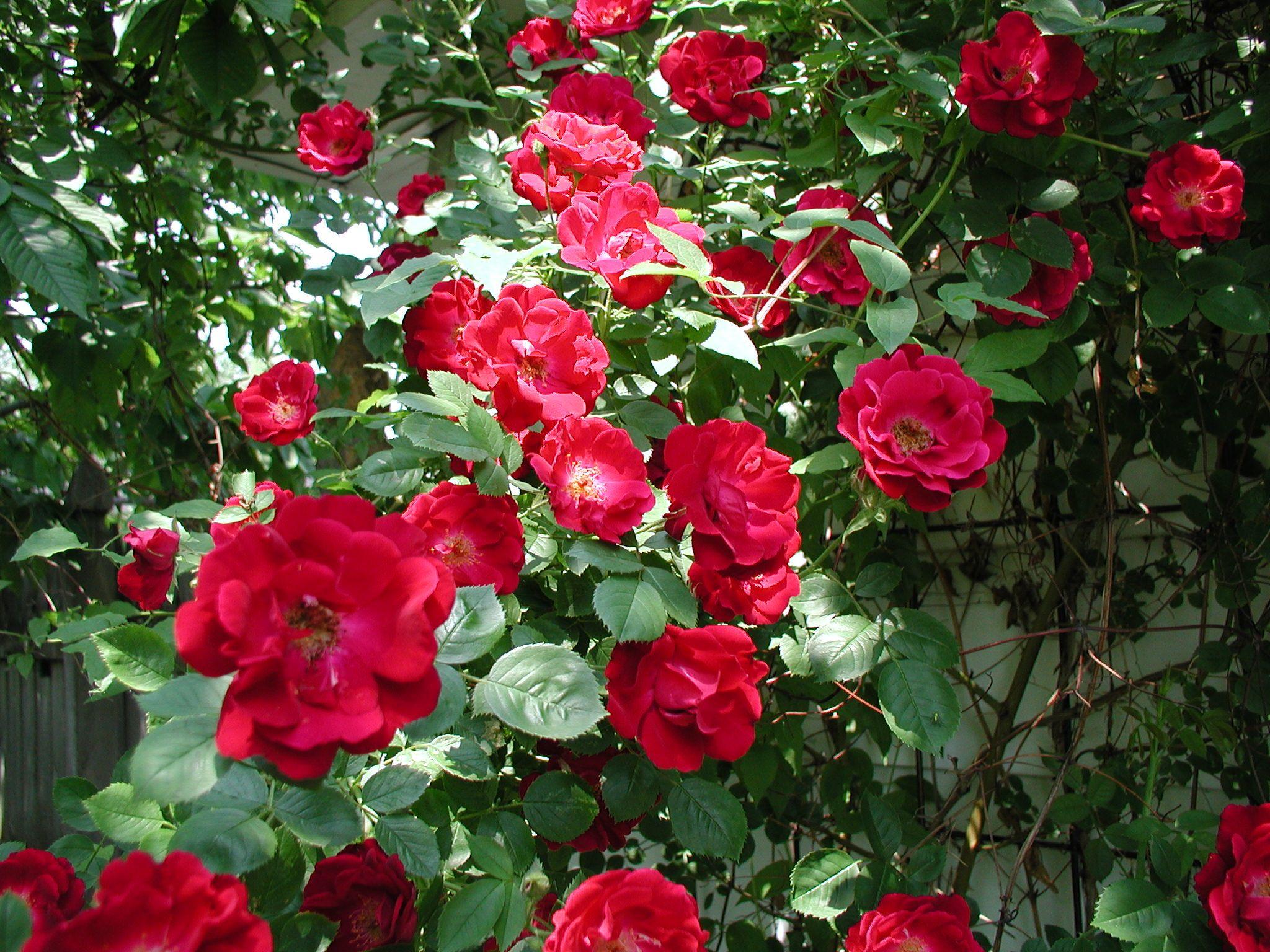 Rose hedge Don Juan My Garden Pinterest