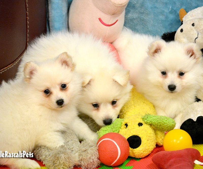 Japanese Cross German Spitz Puppies For Sale Spitz Puppy