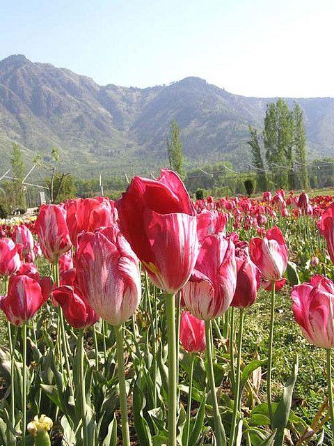 kashmir Tulip Garden by Mehraj Mir, via Flickr