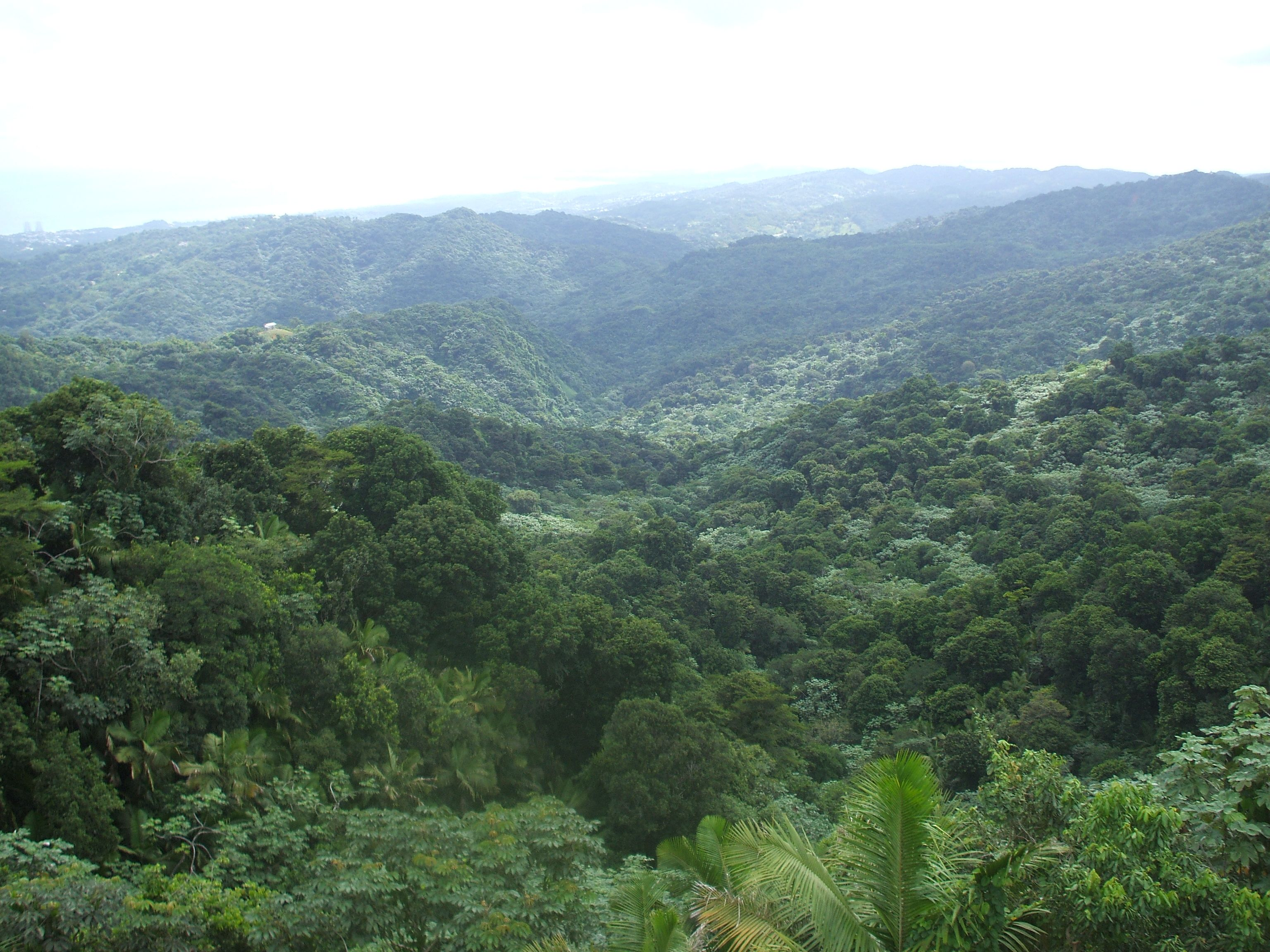 Picture of the Rainforest Canopy in Puerto Ricos El ...
