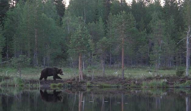 Video: Karhunpennut alkoivat painia metsässä Suomussalmella - Kotimaa - Ilta-Sanomat