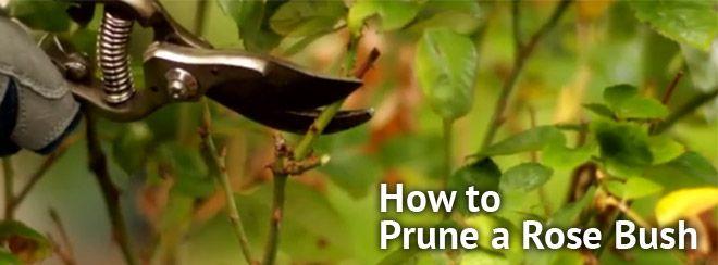 How To Prune Roses In California Landscape Design Garden Supplies Rose Bush
