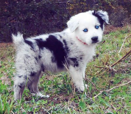 Phantom The Australian Shepherd Pictures My Favorite Dogs Ever I Will Have One Yes I Will Puppies Australian Shepherd Puppies Australian Shepherd