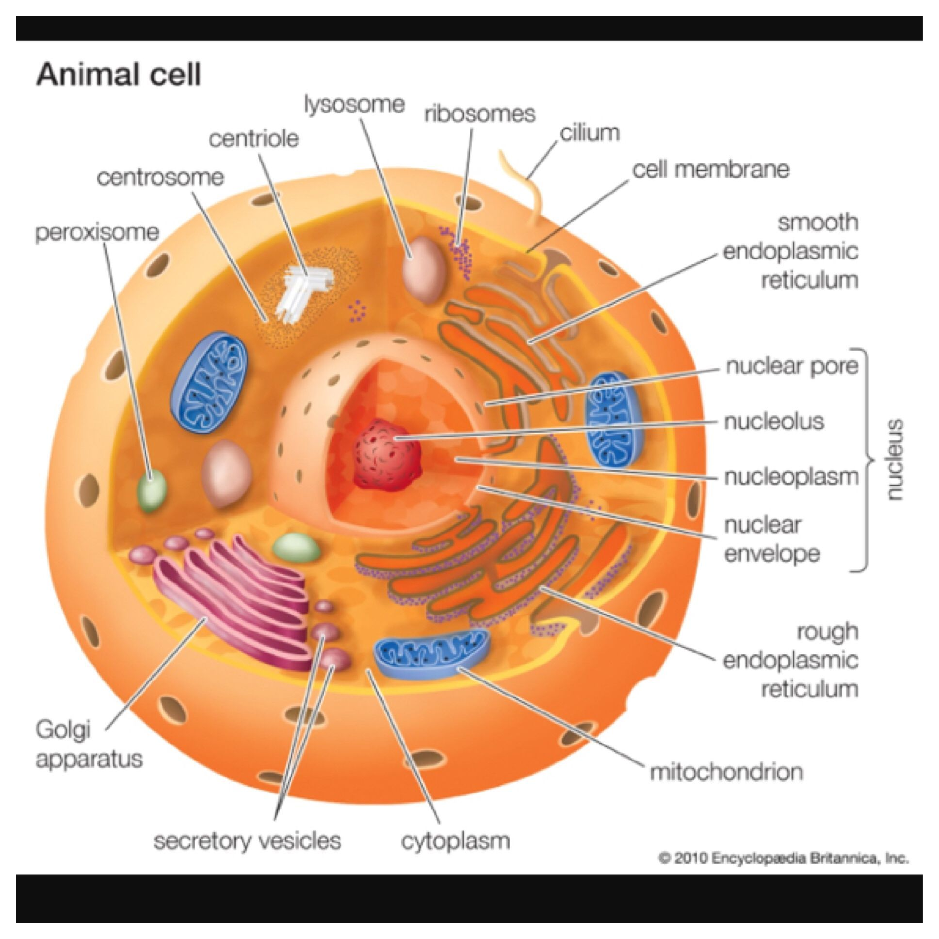 Animal Cell Model Ideas For Your Science Project