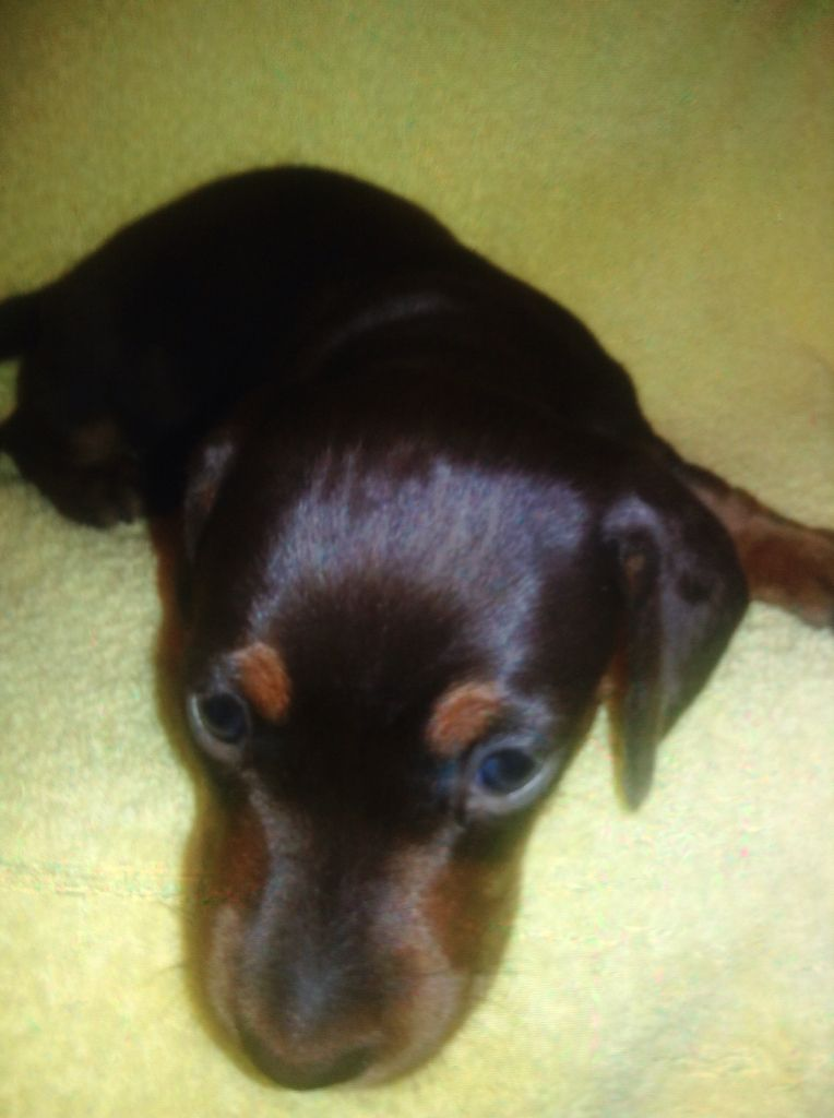 Woof Plese Buy Me At Jencook On Facebook Hoosier Dachshund At Facebook Dachshunds For Sale Baby Puppies Dachshund