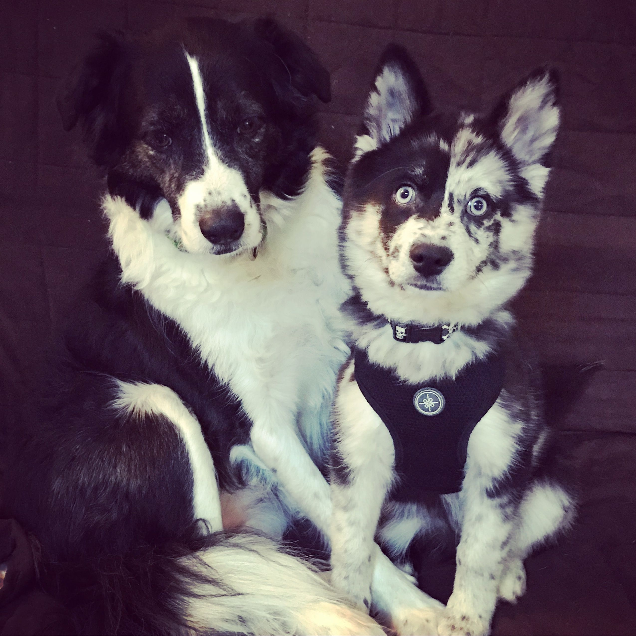 Border Collie Rosalie And Her Little Brother Pomsky Ziggy Blue